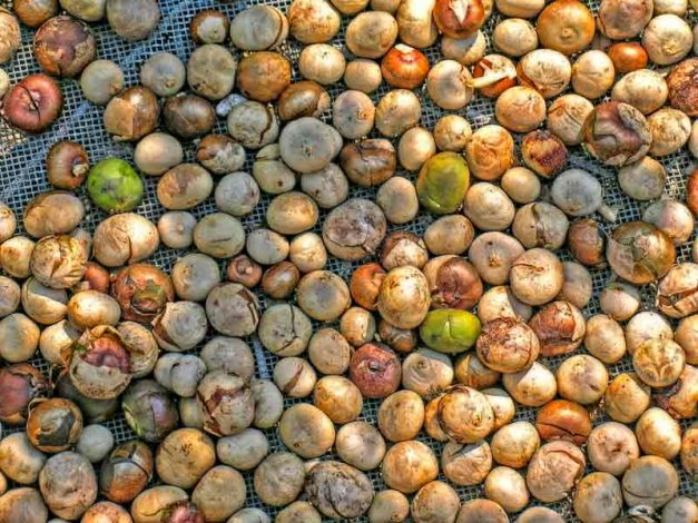 Maya nuts from harvest
